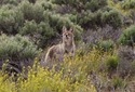 #7: Curious Coyote is curious
