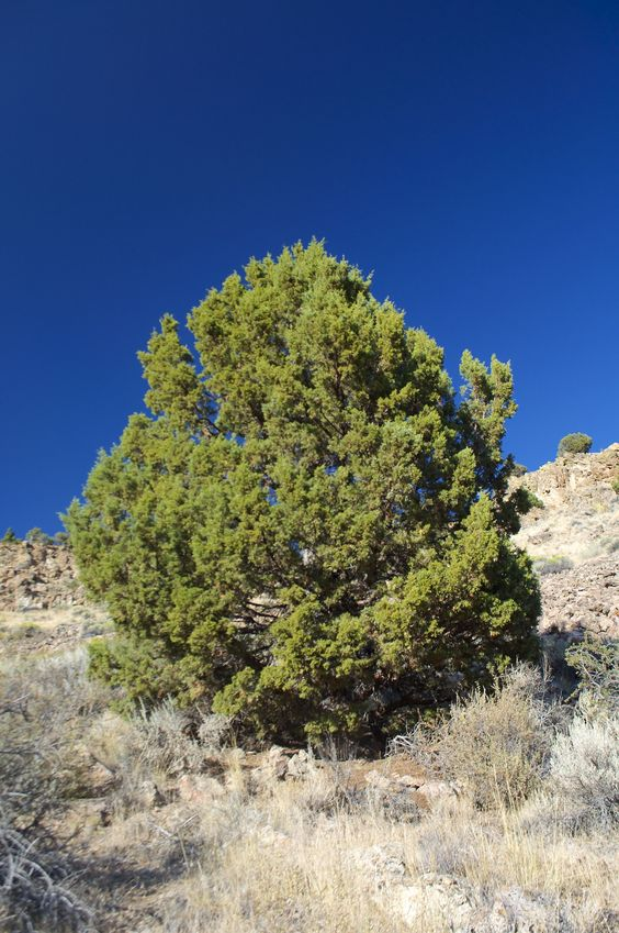 Another view of the 'confluence point pine tree'