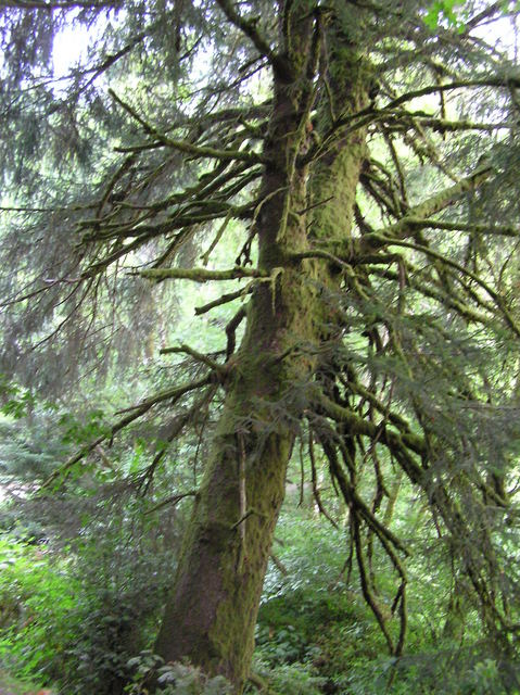 A majestic Douglas Fir, growing near the confluence point