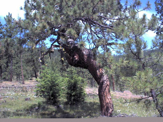 The gnarled pine