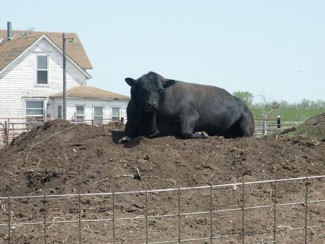 Bull sitting atop pile of manure near confluence