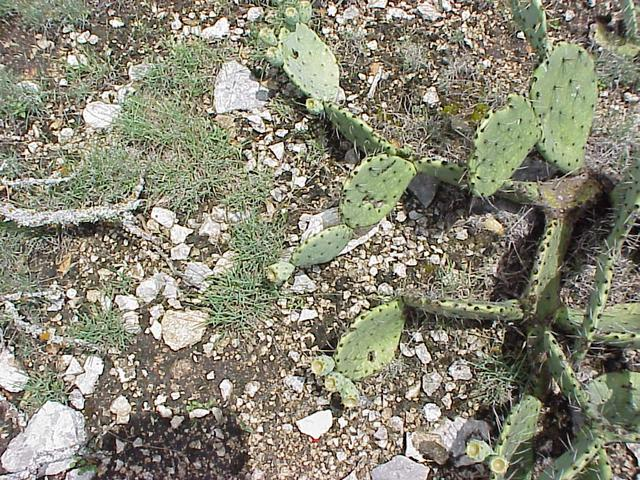 Ground cover at the confluence site includes prickly pear, live oak, and juniper.