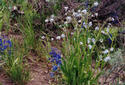 #7: Wildflowers at the Confluence--Larkspur and Forget-me-nots