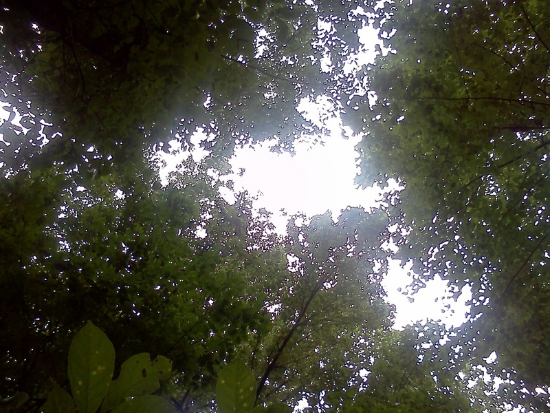 Looking up through the tree canopy from the confluence point