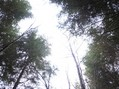 #2: Looking up between the 30 m tall trees