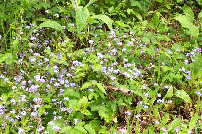 Forget-me-nots in the driveway