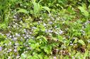 #4: Forget-me-nots in the driveway