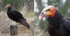 #8: A Yellow-headed Vulture [Oripopo cabeza amarilla menor] (Cathartes burrovianus burrovianus)