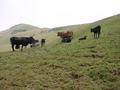 #10: Cattle near confluence point
